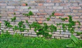 Alte Backsteinmauer überwältigt mit Gras Stockfoto