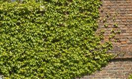 Alte Backsteinmauer bedeckt mit Efeuanlage Stockfotografie