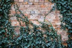 Alte Backsteinmauer bedeckt mit grünem Efeu Lizenzfreies Stockfoto