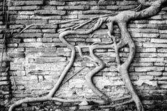 Alte Backsteinmauer mit Banyanbaumwurzel Lizenzfreies Stockbild