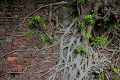 Alte Backsteinmauer mit Baumwurzel und neuem Leben Stockfotografie
