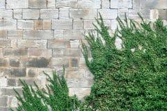 Alte Backsteinmauer mit dem grünen Efeuheranwachsen Lizenzfreies Stockfoto