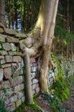Alte Backsteinmauer mit dem Wachsen hinunter Wurzel Baumwurzeln auf gealterten Steinwänden Stockbild