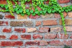 Alte Backsteinmauer mit Efeu Stockfotos