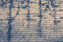 Alte Backsteinmauer mit einigen Niederlassungen des Efeus Lizenzfreie Stockbilder