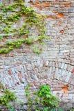 Alte Backsteinmauer mit grünem Efeu Stockfotos