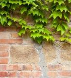 Alte Backsteinmauer mit grünem Efeu Lizenzfreie Stockfotos