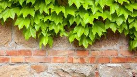 Alte Backsteinmauer mit grünem Efeu Lizenzfreies Stockbild