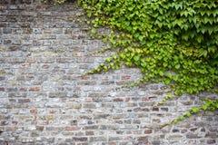 Alte Backsteinmauer mit grünem Efeu Lizenzfreie Stockbilder
