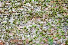 Alte Backsteinmauer mit grüner Efeuanlage Lizenzfreie Stockfotografie