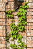 Alte Backsteinmauer mit grüner Efeukriechpflanzenanlage Stockbild