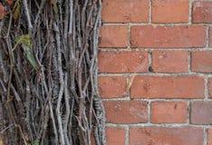 Alte Backsteinmauer mit Niederlassungen der Efeuanlage Lizenzfreies Stockfoto