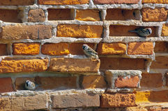 Alte Backsteinmauer mit Spatzen Lizenzfreie Stockfotografie