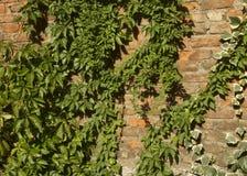 Alte Backsteinmauer mit vielen grünen Efeuanlagen Lizenzfreie Stockbilder