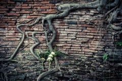 Alte Backsteinmauer mit wachsenden Banyanbaumwurzeln Stockbild
