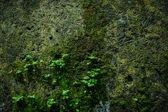 Alte Backsteinmauer mit wachsender Beschaffenheit des Mooses der alten Steinwandabdeckung Stockbilder