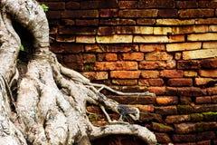 Alte Backsteinmauer mit Wurzelbaum Stockbild