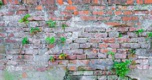 Alte Backsteinmauer pflanzt Schmutzbeschaffenheit Stockfotos