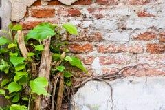 Alte Backsteinmauer und Anlagen Lizenzfreie Stockbilder