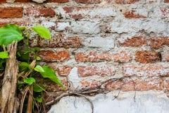 Alte Backsteinmauer und Anlagen Stockfoto