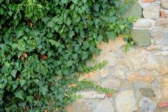 Alte Backsteinmauer und wilde Trauben Stockfoto