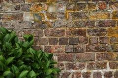 Alte Backsteinmauerbeschaffenheit mit Anlage Stockfoto