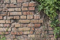 Alte Backsteinmauerbeschaffenheit mit grünen Blättern Stockbilder