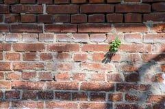 alte Backsteinmauerbeschaffenheit mit Grünpflanze, Lizenzfreies Stockbild