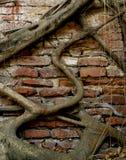 Alte Backsteinmauerwurzeln Stockfotografie