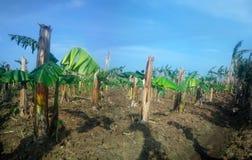 Alte Bananenplantage Alte hohle gebrochene Zurückgehung und auf Rhizome haben neues Blatt gewachsen Lizenzfreie Stockfotos