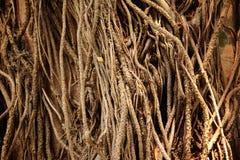 Alte Banyanbaumwurzeln Stockfotos