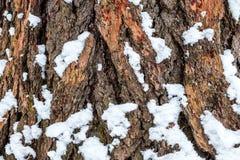 Alte Barke der braunen Kiefer mit einem wenigen Schnee Stockfoto