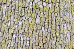 Alte Barke des Baums mit Moos Stockbild