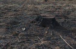 Alte Baum-Stümpfe verursacht durch Abholzung und Brand Stockfotografie