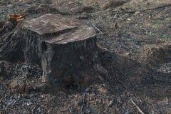 Alte Baum-Stümpfe verursacht durch Abholzung und Brand Stockbilder