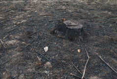 Alte Baum-Stümpfe verursacht durch Abholzung und Brand Lizenzfreie Stockbilder