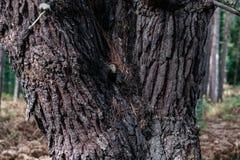Alte Baum-Stamm-Barken-Beschaffenheit England-Wald Lizenzfreie Stockbilder