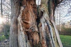 Alte Baum-Stammspalte durch Blitz - nahes hohes Detail Stockfotos