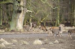 Alte Baum- und Bracherotwild Stockfotografie