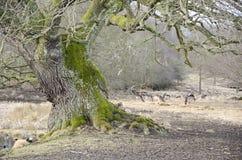 Alte Baum- und Bracherotwild Lizenzfreie Stockfotografie