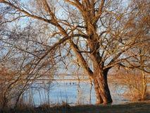 Alte Baum- und Kormoranvögel, Litauen Stockbild