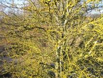 Alte Baumaste mit grünem Moos im Herbst, Litauen Stockfoto