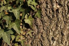 Alte Baumbeschaffenheit mit einem Efeu verlässt Lizenzfreie Stockfotos