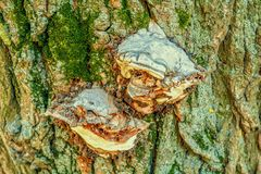 Alte Baumrinde der Nahaufnahme mit Pilz Lizenzfreies Stockfoto