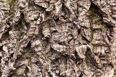 Alte Baumrinde gemasert Gekrümmte und trockene Oberfläche Verwitterte und gealterte hölzerne Beschaffenheit mit tiefer Furche Lizenzfreies Stockfoto