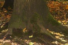 Alte Baumrinde mit grüner Moosnahaufnahme Stockfotografie
