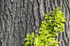 Alte Baumrinde mit Grünpflanze Lizenzfreie Stockfotografie