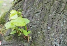 Alte Baumrinde mit Grünpflanze Stockbilder