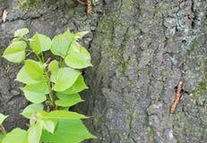 Alte Baumrinde mit Grünpflanze Stockfotos