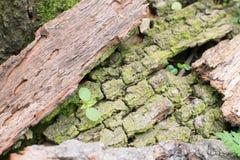 Alte Baumrinde mit Grünpflanze Stockfotografie